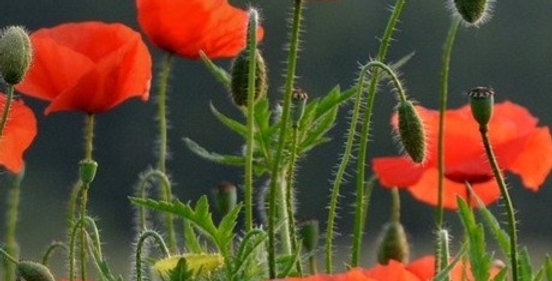 Oriental Poppy 'Brilliant'