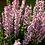 Thumbnail: Perennial Salvia