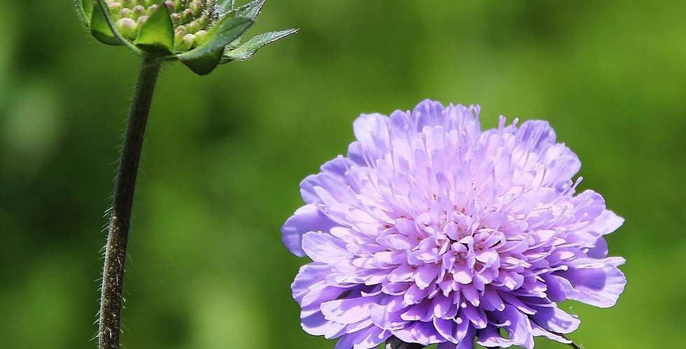 Pincushion Flower (Scabiosa)