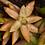 Thumbnail: Annual Fire Sedum (Sedum nussbaumerianum)