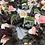 Thumbnail: Begonia