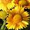 Thumbnail: Gaillardia (Blanket Flower)