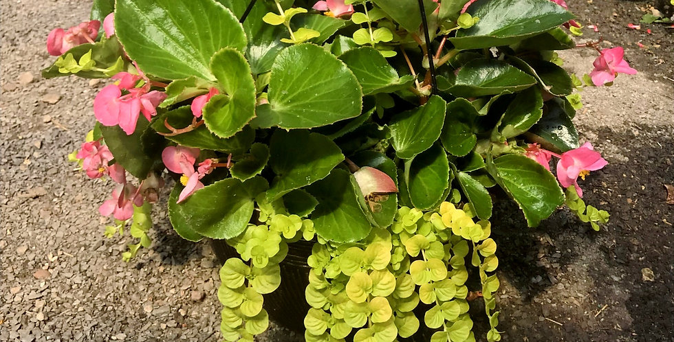 Dragon Wing™ Begonia & Lysimachia Hanging Basket