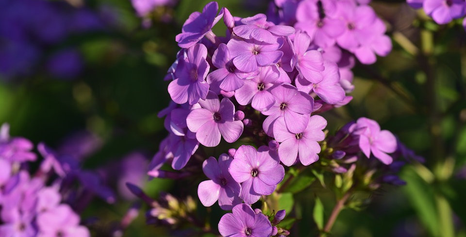 Phlox (Upright)