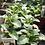 Thumbnail: Annual Salvia