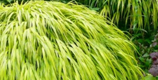 Hakonechloa (Japanese Forest Grass)