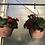 Thumbnail: Begonia Hanging Basket