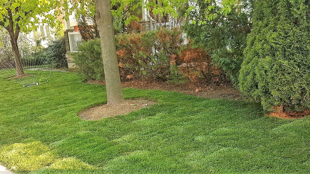 freshly installed sod in Toronto