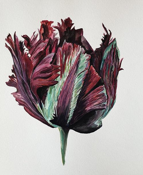Black Parrot Tulip Original