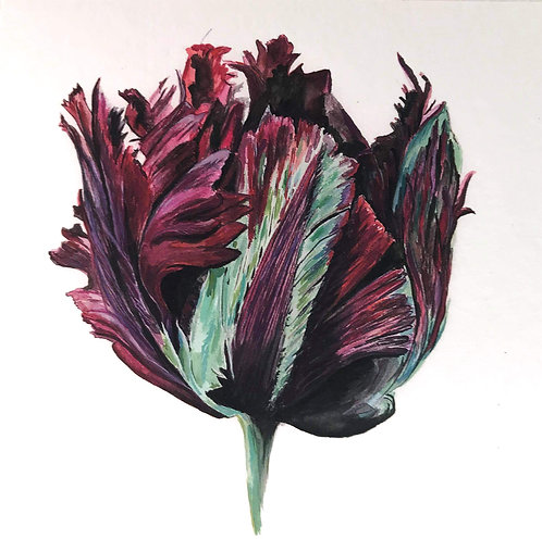 Black Parrot Tulip Original