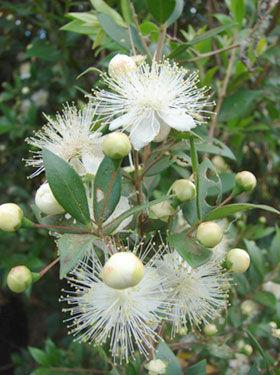 библейские растения, мирт, флора Израиля, цветущие растения Израиля