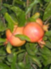 гранаты, плод граната, библейские растения, гранат, терновник, мирт, флора Израиля