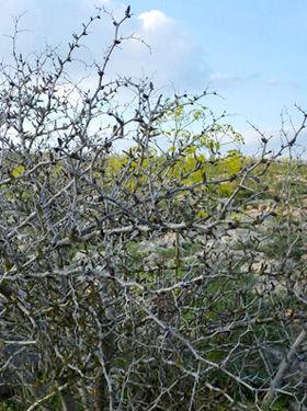 библейские растения, терновник, флора Израиля