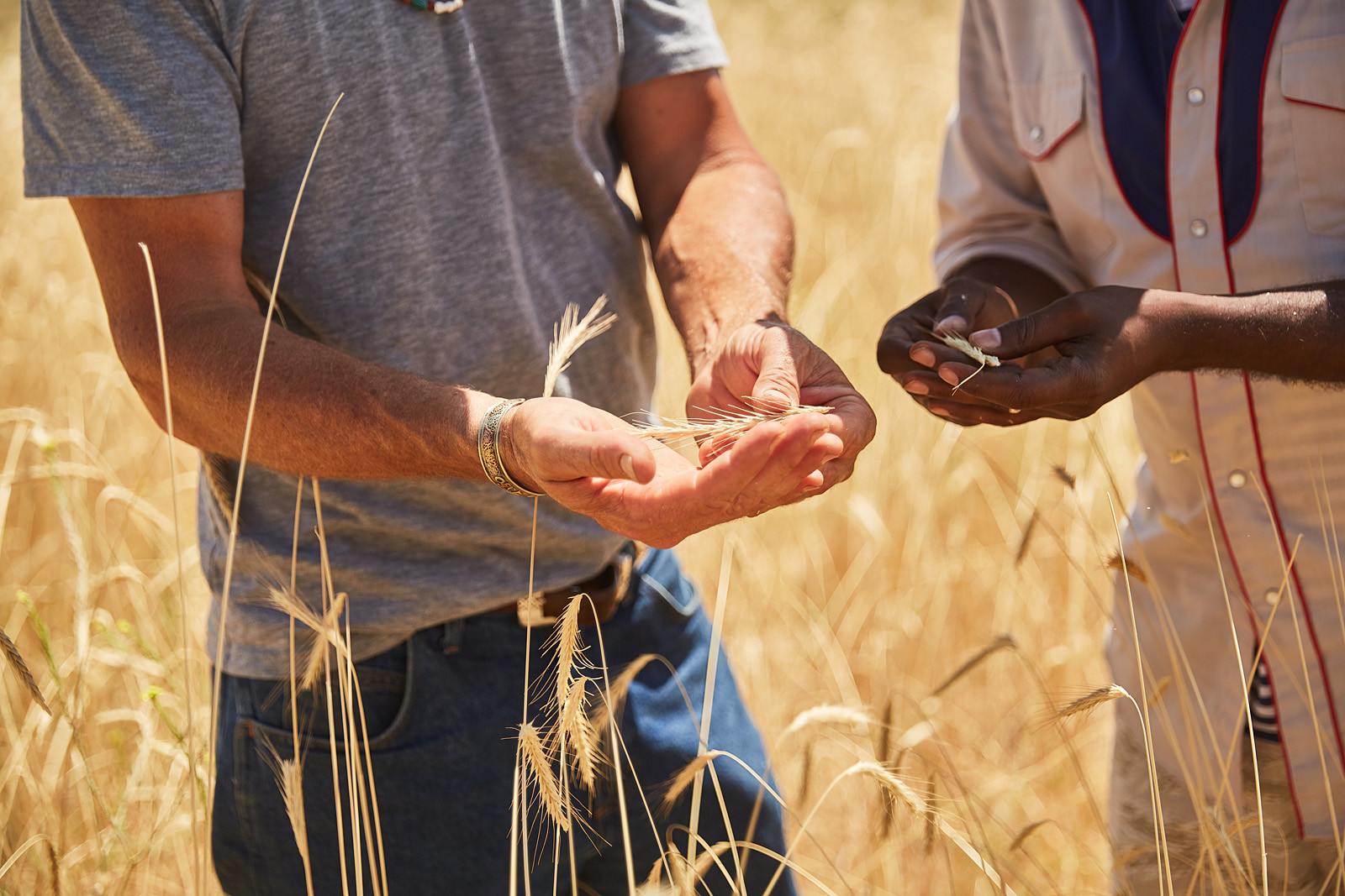 WHEAT IN HANDS_FOOD INTERRUPTED_GRAIN_PA