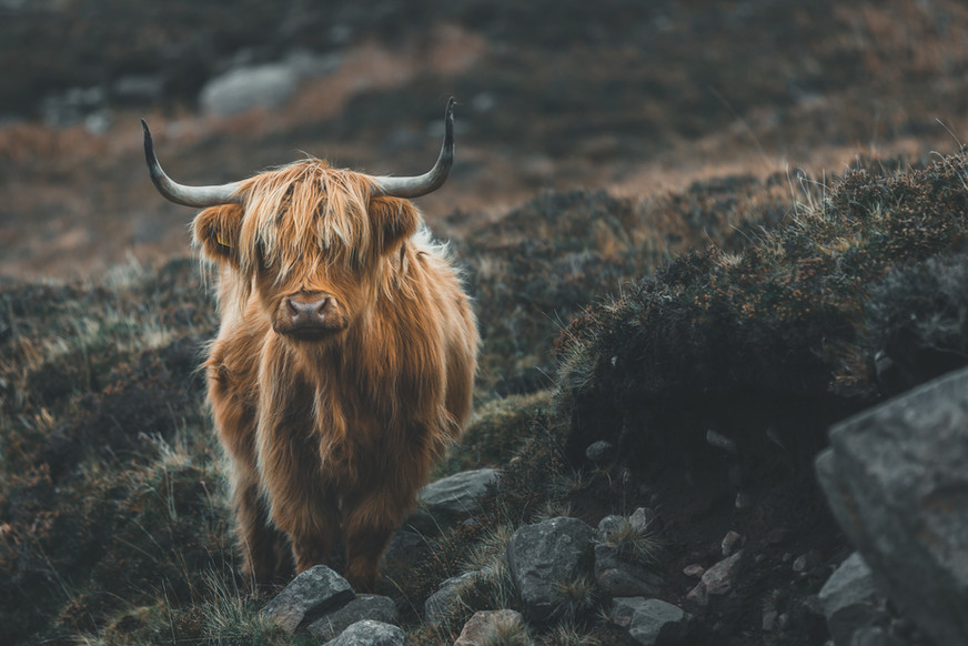 The Highland Cow