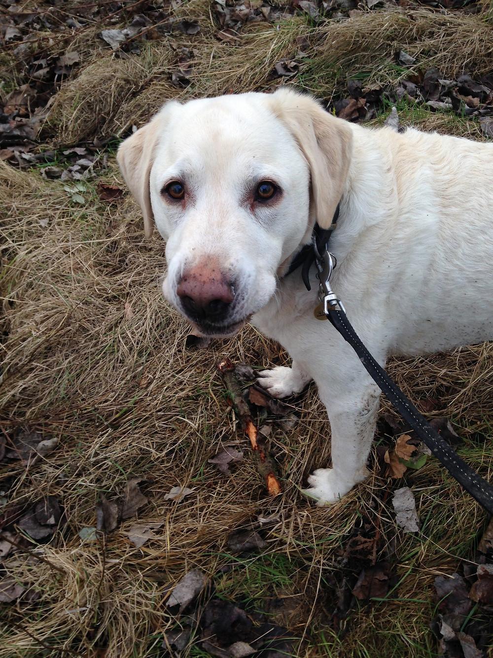 Photo of my Labrador dog