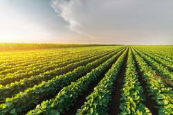 Agricultural soy plantation on sunny da
