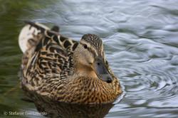 lady duck_web