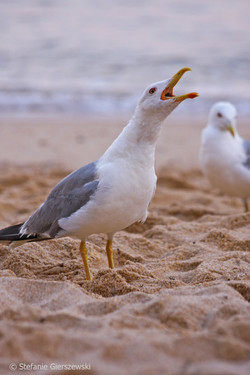 Calling of the Seagull