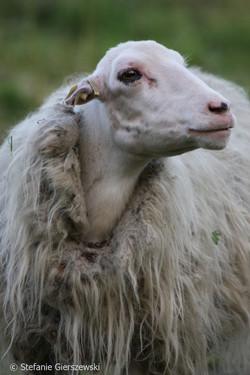 Lady sheep_web