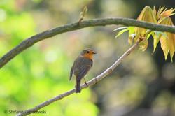 sceptical robin_web