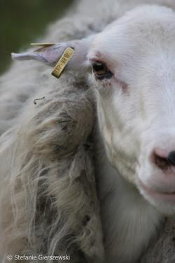 sheep code_web