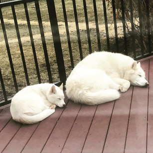 Siberian Husky vs. Pomsky