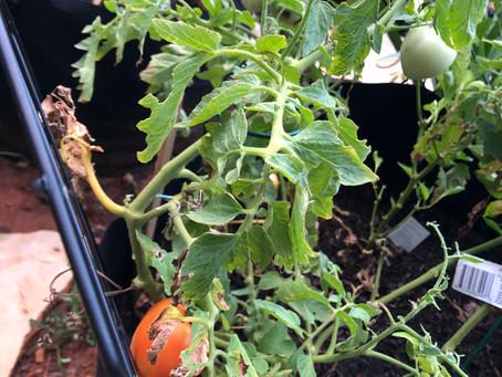 Home Gardening- Summer Salad