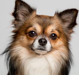 Chihuahua_edited.jpg