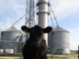 calf infront of bins.jpg