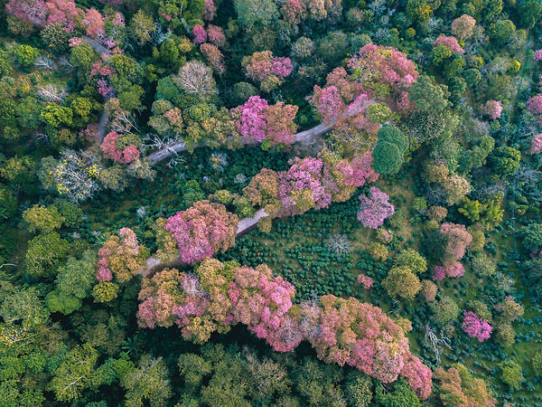 Aerial view of Thai cherry blossom in No