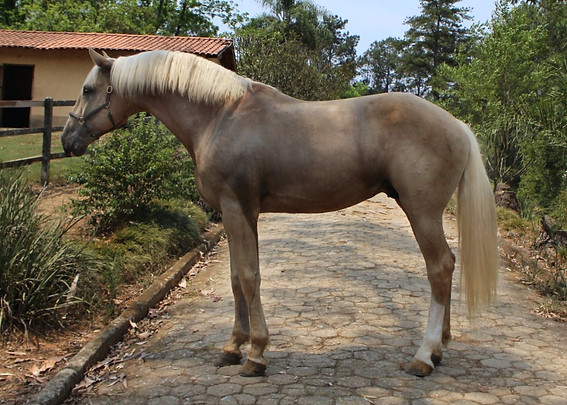 Palomino Lusitano stallion for sale