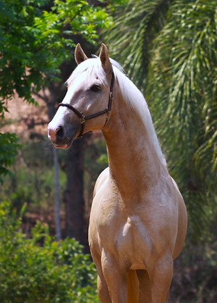 Palomino Lusitano stallion for sale