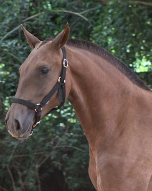 Lusitano mare lyric dressage for sale