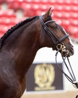 Lusitano horse for sale