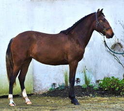 Lyric dressage lusitano for sale Operett