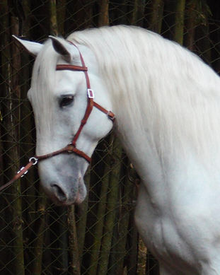 Lyric_Dressage_Lusitano_Ebro.jpeg