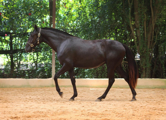 Ophelia do Arete Lusitano filly for sale