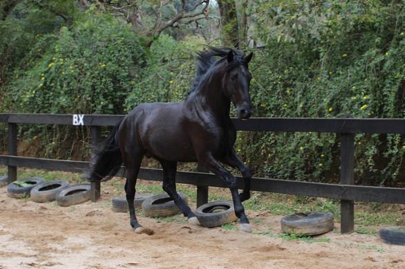 Black lusitano stallion Neptuno
