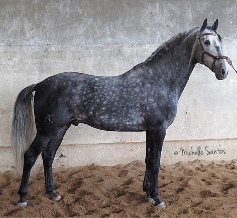 Lyric Dressage Lustiano gelding Honesto