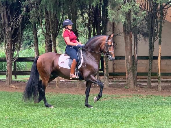 Dressage Lusitano stallion Guarani_3.jpe