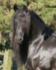 friesian_horse_Hendrik1.jpg