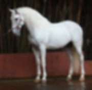 Lyric_Dressage_Lusitano_Ebro_2.jpeg