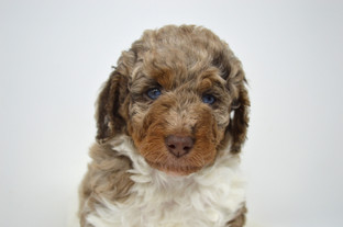 About Bernedoodles Glass House Puppies United States
