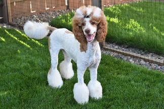 Lilly - AKC Standard Poodle