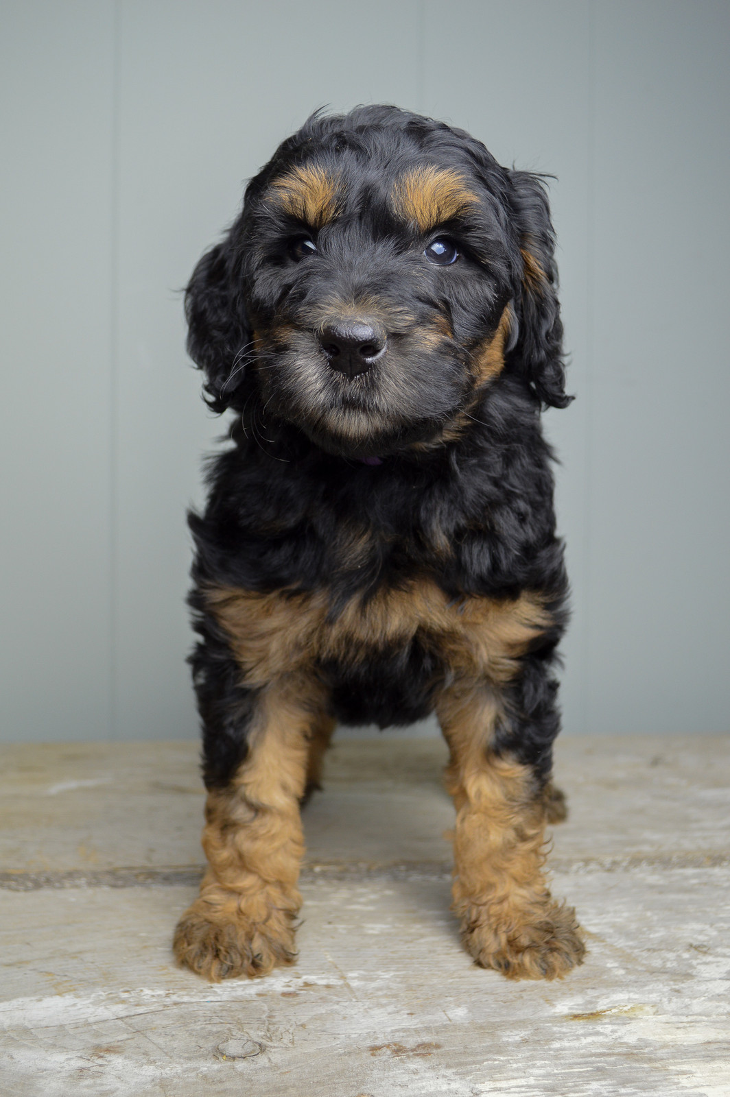Tricolor Bernedoodle Puppies United States Glass House Puppies
