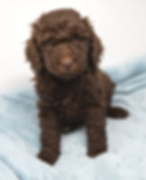 AKC Chocolate Poodle
