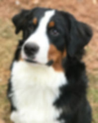 Tricolor Bernese Mountain Dog