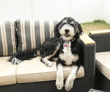 Lucy - F1 Bernedoodle