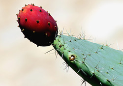 prickly pear2